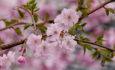 Cherry pink flowers, tree branches, blossom