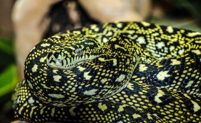 Reptile, black snake