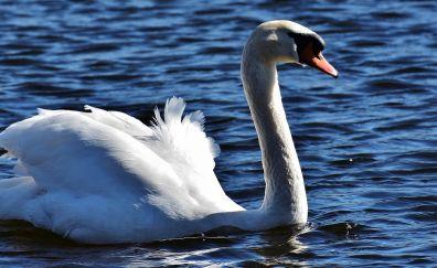 White swan, bird, swim, water