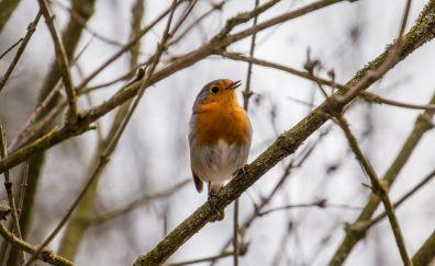 European Robin, bird, cute small bird