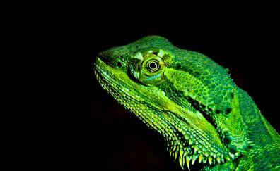 Green Bearded dragons, lizard, muzzle