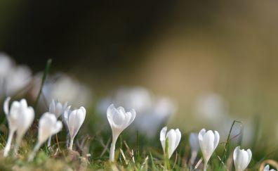 Blur, white crocus plants, flowers, spring