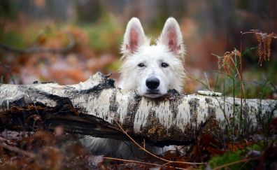 Pet dog, stare, forest, tree trunk