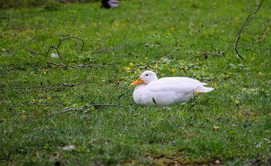 White duck, grass field, sitting