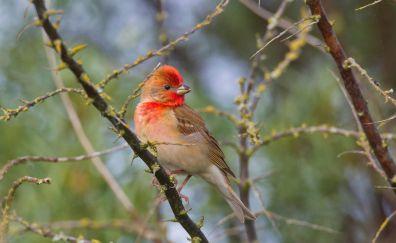 Rosefinch, bird, tree branch