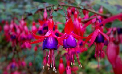 Fuchsia, purple flowers, close up