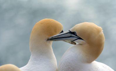 Gannet, white bird, pair