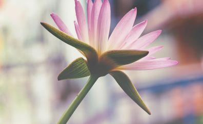 Pink lotus flower, petals