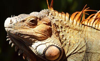 Iguana, big lizards, muzzle