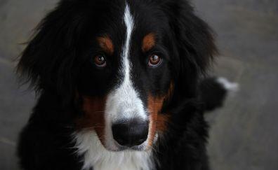 Bernese mountain dog muzzle
