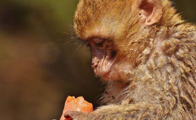 Barbary macaque, monkey, ape, eating