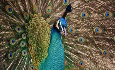 Feathers, dance, peacock, bird
