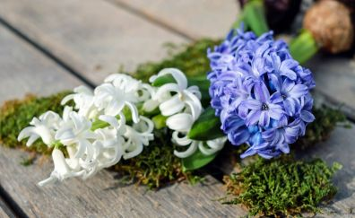 Hyacinth, white & purple flowers