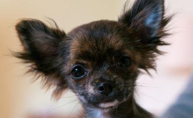 Chihuahua dog, puppy muzzle