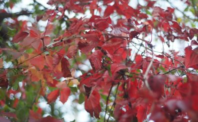 Red leaves, spring, tree branches