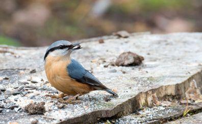 Nuthatch, cute bird, eating