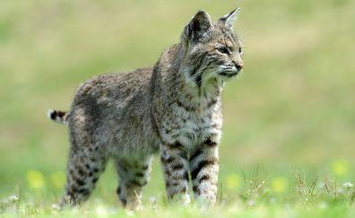 Wild cat feline