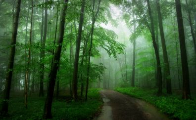 Road in forest, green tree, fog