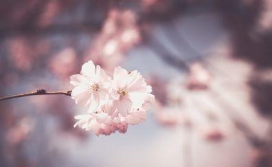 Sakura white pink flowers