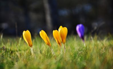 Crocus, yellow & purple flowers, grass
