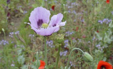 Poppy, purple flowers, meadow