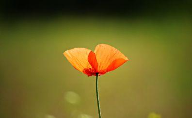 Single flower, orange poppy, blur