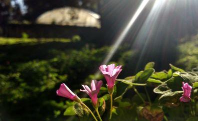Physalis flowers, plants, sunlight