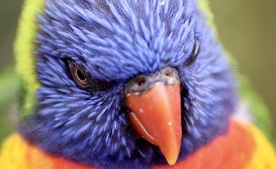 Lorikeet bird, parrot muzzle, colorful