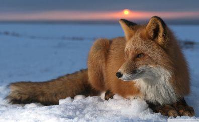 Snow, winter, red fox, wild animal, sitting