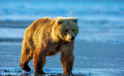 Bear, wild animal, furry animal