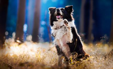 Border Collie dog, playing, meadow