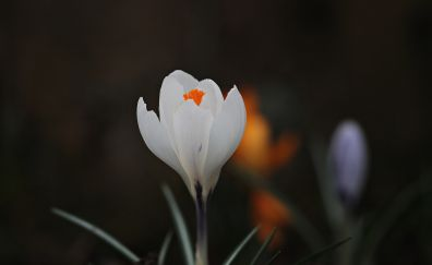 Crocus, white flower, bud, blur