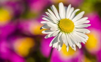 White flower, daisy, blur