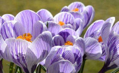 Purple flowers, crocus, spring, flowers