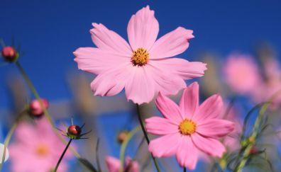 Pink cosmos flower wallpaper