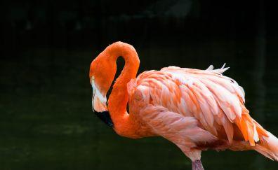 Flamingo, bird, pink bird, stand