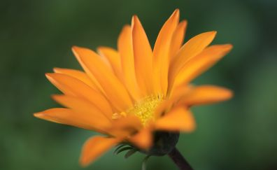 Gazania flower, yellow flower, blur
