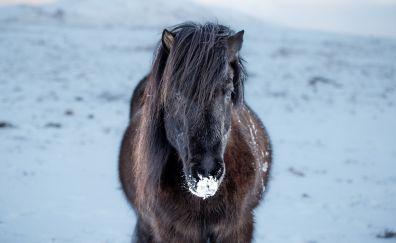 Icelandic horse, animal