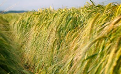 Cereal crops, grass threads
