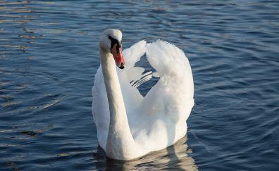 Swan, birds, white birds