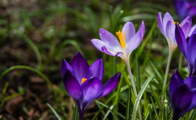 Crocus plants, purple flowers, spring, close up