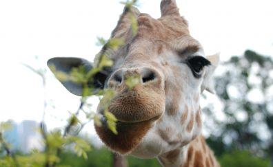 Giraffe, eat, leaves, head
