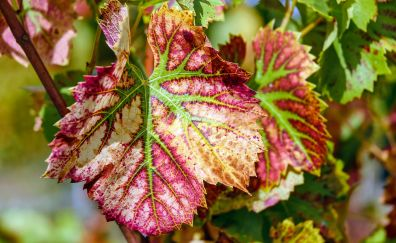 Vine leaves pigmentation