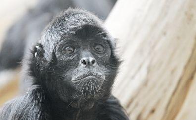 Spider monkey, monkey, black animal, muzzle