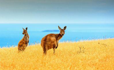 Kangaroo animal, landscape
