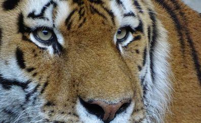 Tiger, very big cat, muzzle, eyes