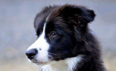 British shepherd dog muzzle