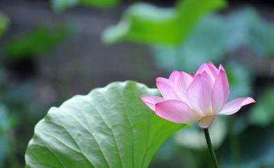 Pink lotus flower, leaves, close up
