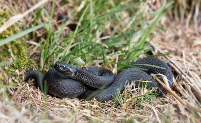 Black snakes, reptiles