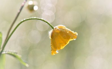 Buttercup, Ranunculus flower, drops, bokeh
